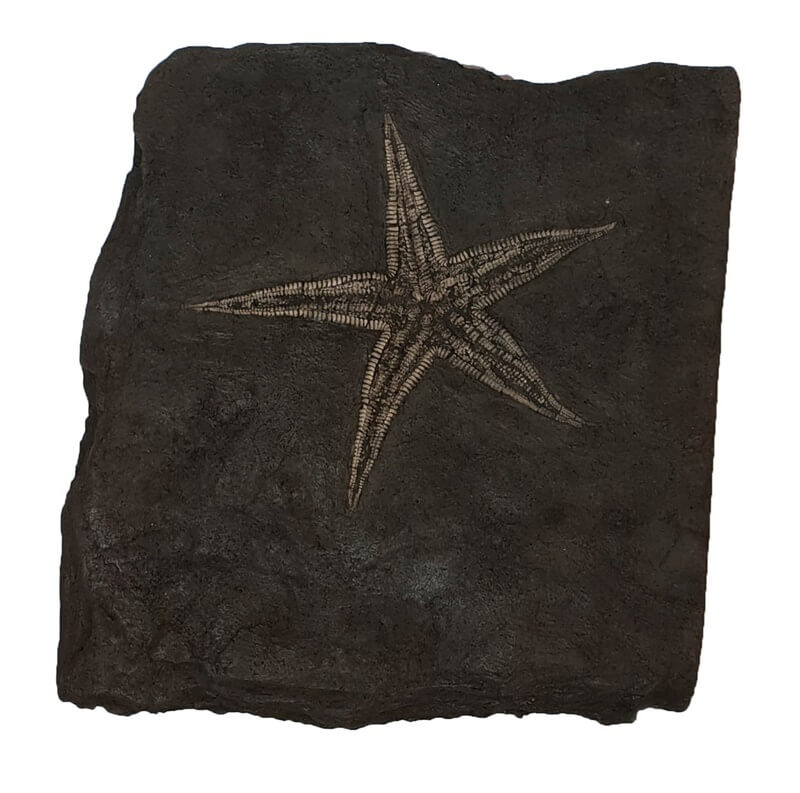 New discovery of fossil starfish to discover at 22 nd street tucson