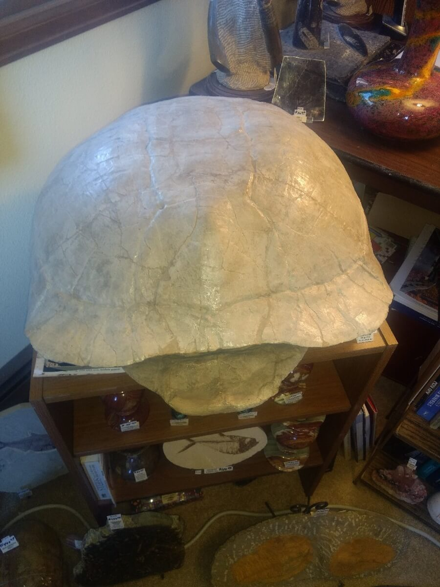 """A large 33 MYO Turtle from No Dakota About 28"""" Front to back and hollow!"""