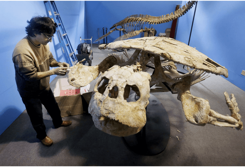 Sergio Xerri of Sahara Overland assembles the fossilized skeleton of a 75 million-year-old giant turtle recovered in Morocco.
