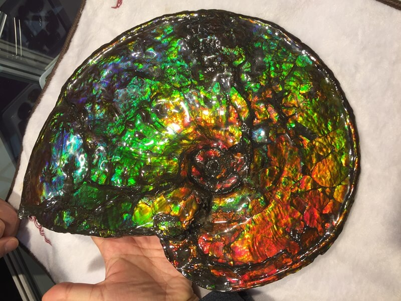 12 inches Ammolite fossil.